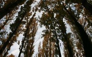 La tala de árboles enfrenta al PNV y a Podemos en Basauri
