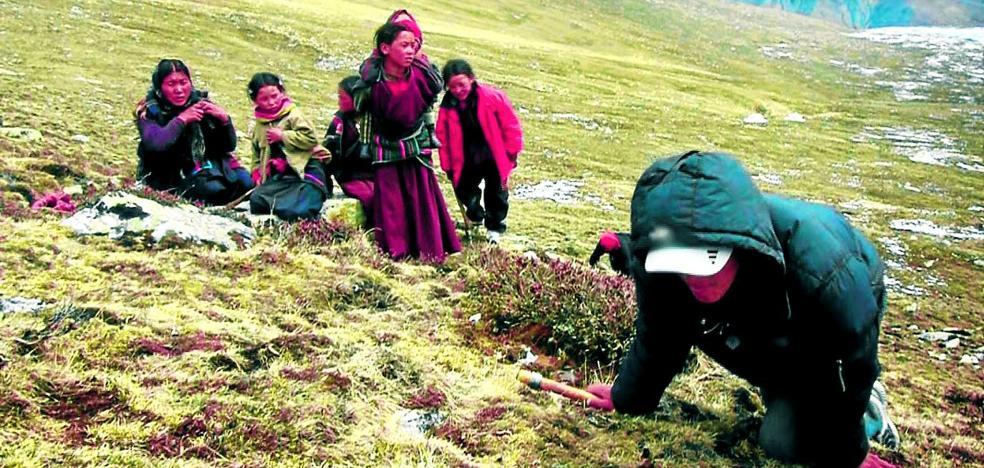 El viagra del Himalaya tiene forma de gusano