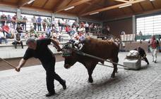 Animalistas de Leioa piden el fin de pruebas de arrastre en fiestas en las que se «maltrata a burros y bueyes»