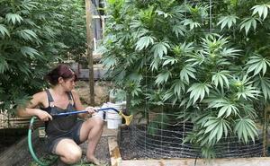 El cannabis embriaga los viñedos de California
