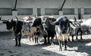 Las ganaderías de las fiestas: serias, duras y propicias