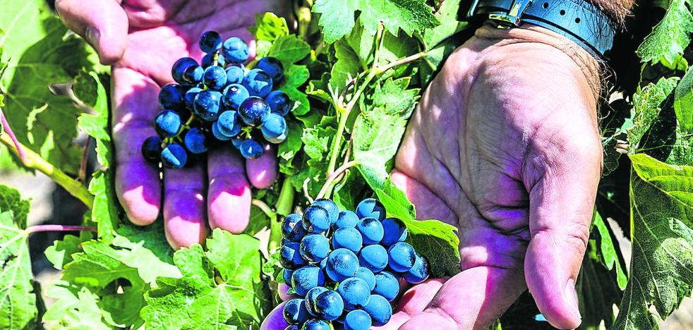 Rioja Alavesa apunta a un 'cosechón'