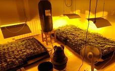 Desmantelan una plantación de marihuana con más de 400 macetas en Mungia