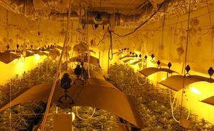 Descubren 1.300 plantas de marihuana en Mungia tras recibir un aviso por un robo