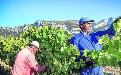 Rioja Alavesa comienza una vendimia que puede ser histórica por la calidad de la uva