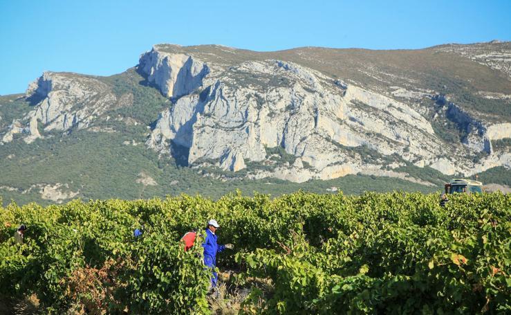 Arranca la vendimia en Rioja Alavesa