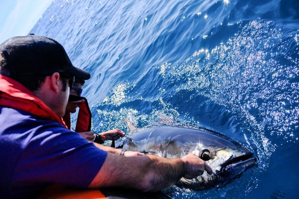 Bermeo acogerá el marcaje electrónico de atún rojo para mejorar su gestión sostenible