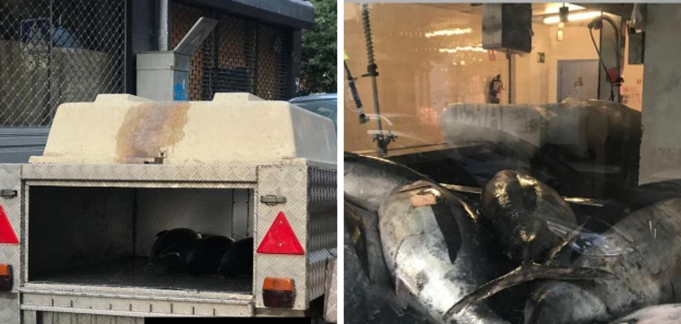 Casi una tonelada de bonito fue transportada en un remolque para perros a la pescadería del Ensanche vitoriano