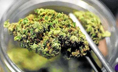 Desmantelado en Barrundia un invernadero ilegal con 55 plantas de marihuana y 200 ramas de cogollos