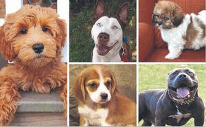 En busca del perro 'Frankenstein': ya hay más de 300 razas de laboratorio