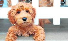 En busca del perro perfecto: ya van más de 300 razas