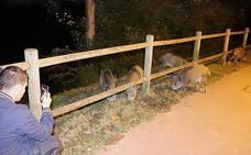 Los jabalíes se convierten en un espectáculo nocturno en Basauri