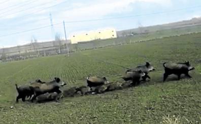 Mueren seis jabatos arrollados en la N-240, en Miñano