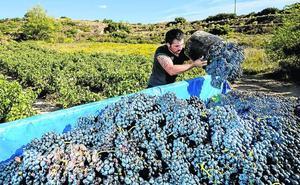 Rioja Alavesa cierra una vendimia de gran calidad pero con un 20% menos de uva