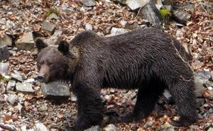 La Fundación Oso Pardo reclama medidas para evitar que los osos se habitúen a comer basura humana