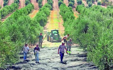 La amenaza que se cierne sobre los olivareros
