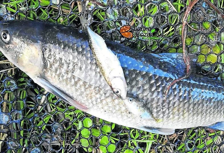 Investigan la muerte de cientos de peces en el río Gobela