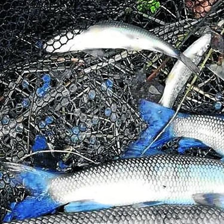 Recogen 700 peces muertos tras el vertido al río Gobela