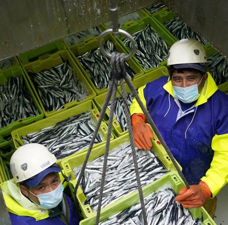 La abundancia de la biomasa juvenil de anchoa garantiza la próxima campaña