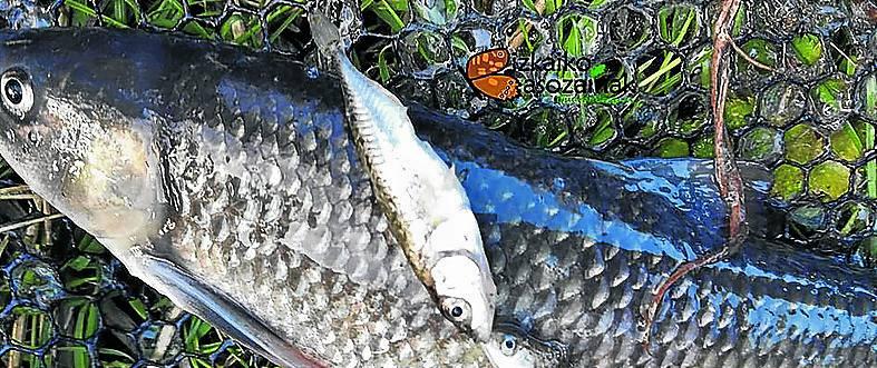 Bizkaia encarga un nuevo censo de poblaciones de pez espinoso
