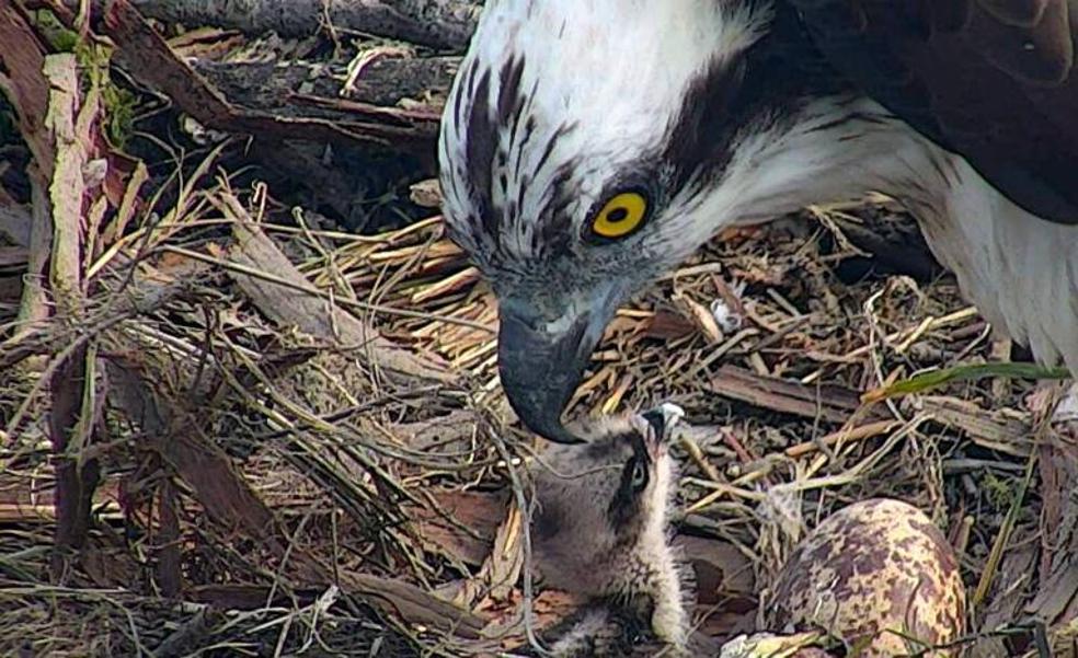 Organizan salidas guiadas para conocer por primera vez las águilas pescadoras de Urdaibai