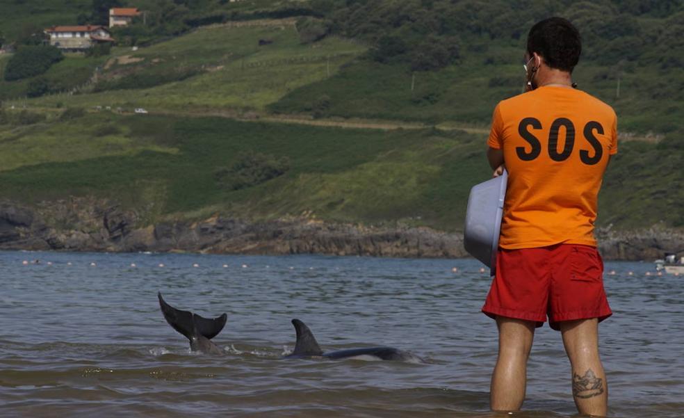Liberan a un delfín varado en la playa de Mundaka