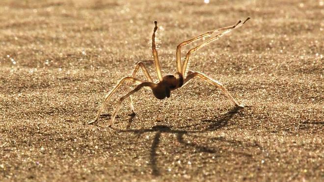 La araña acróbata