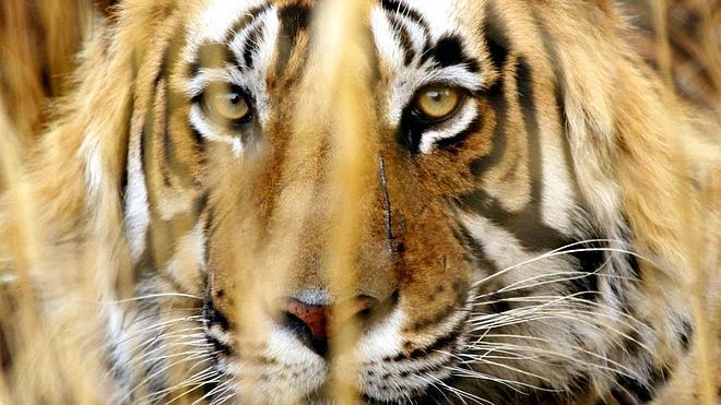 La silenciosa extinción del tigre