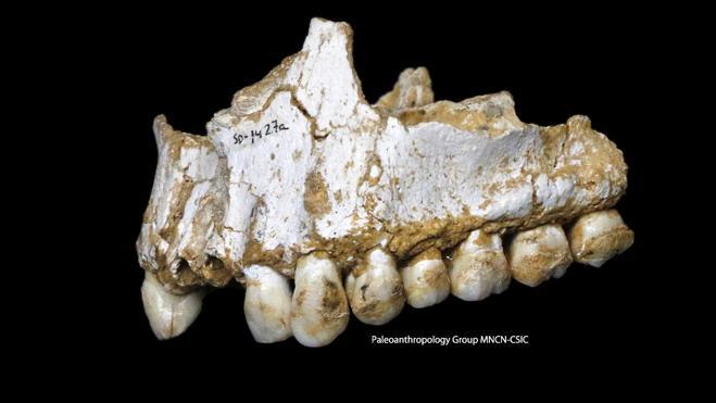 Los neandertales ya se medicaban con 'aspirinas' naturales