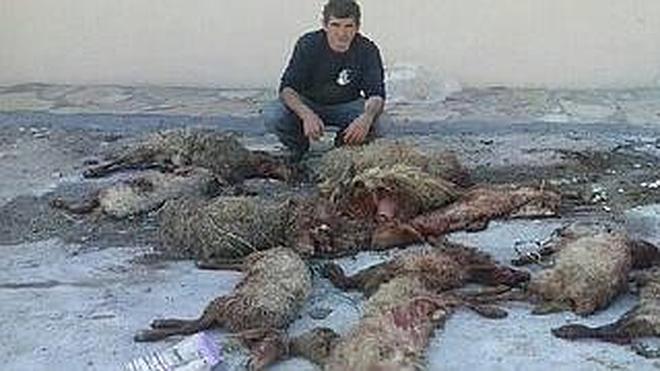 Otro ataque de lobos en Carranza deja once ovejas muertas y nueve heridas