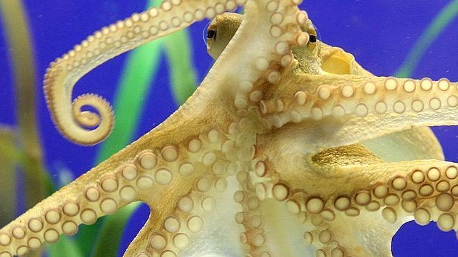 Por qué los pulpos no se hacen un lío con los tentáculos