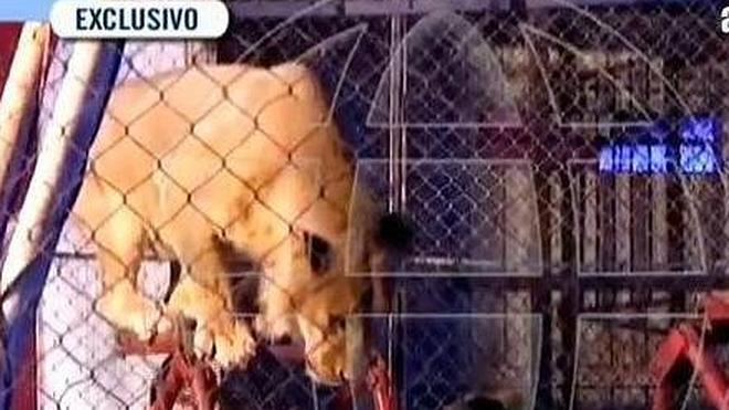 Le ataca un león en un circo delante de sus alumnos
