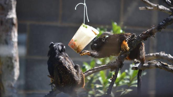 Helados de frutas y grillos para los monos de Sendaviva