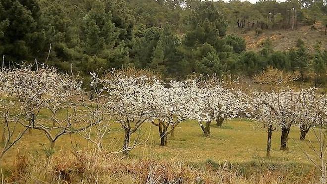 Cerezos en flor y templarios en Las Caderechas