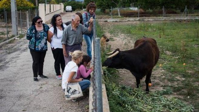 Intento desesperado en Cataluña para salvar a la vaca 'Margarita'
